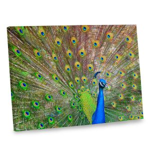 What's prettier than a peacock? Our stunning peacock canvas print is sure to brighten you decor.